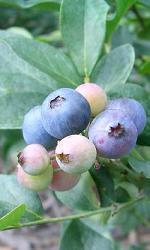 v-top-blueberry.jpg
