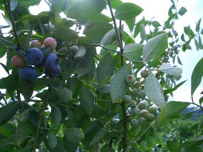 v110731-blueberry3.JPG