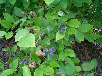 v110731-blueberry4.JPG