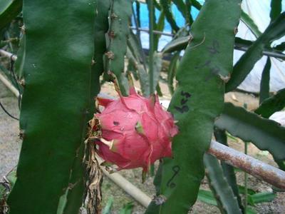 v110821-dragonfruit4.JPG